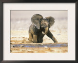 African Elephant Calf on Knees by Water, Kaokoland, Namibia Prints by Tony Heald