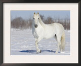 Grey Andalusian Stallion Portrait in Snow, Longmont, Colorado, USA Posters by Carol Walker