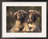 Domestic Dogs, Two Owatcha Puppies (Malamute and Wolf Mix) Prints by Adriano Bacchella