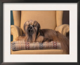 Lhasa Apso Sitting on Armchair Prints by Adriano Bacchella