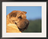 Shar Pei Looking Back Prints by Adriano Bacchella