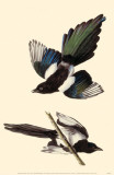 Black-Billed Magpie Masterprint