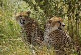 Cheetahs Masterprint