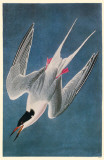 Roseate Tern Reproduction image originale