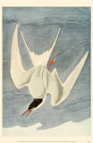 Common Tern Affiche originale