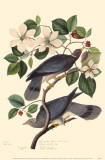 Band-Tailed Pigeon Masterprint