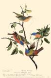 Colibris Masterprint