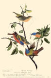 Painted Bunting Masterprint