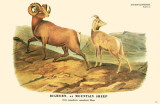 Bighorn or Mountain Sheep Masterprint