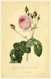 Great Cabbage-Leaved Rose Masterprint
