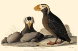 Tufted Puffin Masterprint