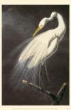 Great Egret Masterprint