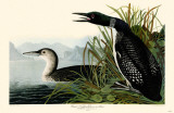 Great Northern Dover or Loon Reproduction image originale