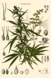 Cannabis Sativa Masterprint