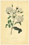Bell Rose Masterprint