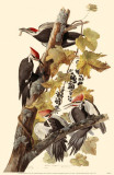 Pileated Woodpeckers Masterprint