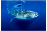 Whaleshark Masterprint