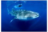 Whaleshark Masterprint
