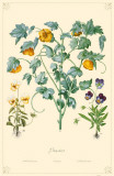 Pansies Flowers Masterprint
