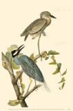 Yellow-Crowned Night Heron Masterprint