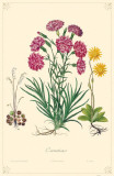 Carnation Flowers Masterprint