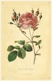 Cumberland Rose Masterprint