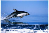Pacific White-sided Dolphin Masterprint