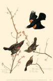 Red-Winged Blackbird Reproduction image originale
