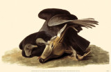 Black Vulture Masterprint