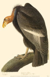 Condor de Californie Reproduction image originale