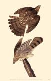 Cooper's Hawk Masterprint