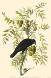American Crow Masterprint