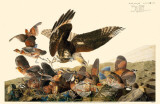Northern Bobwhite Reproduction image originale