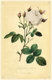 White Provence Rose Masterprint