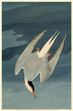 Arctic Tern Reproduction image originale