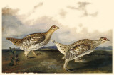 Sharp-Tailed Grouse Masterprint