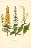 Mulleins Flowers Masterprint
