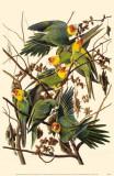Carolina Parakeet Masterprint