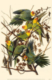 Carolina Parakeet Masterprint