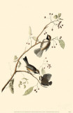 Boreal Chickadee Reproduction image originale