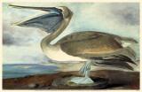Pélican brun Reproduction image originale