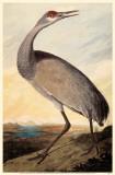 Sandhill Crane Masterprint