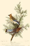 Cedar Waxwing Masterprint