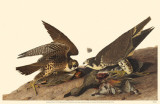 Peregrine Falcon Masterprint