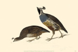 California Quail Masterprint