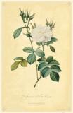 Perfumers' White Rose Masterprint