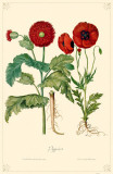 Poppies Flowers Masterprint
