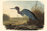 Little Blue Heron Masterprint