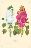 Hollyhock Flowers Masterprint