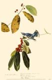 Cerulean Warbler Masterprint